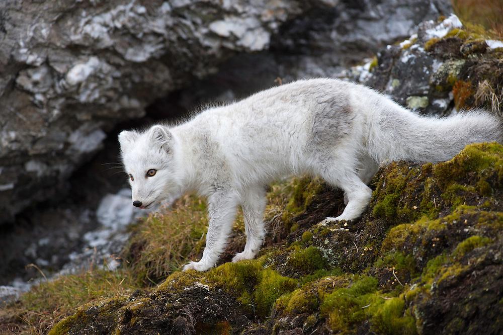 Arctic fox, Vulpes lagopus, Spitsbergen, Svalbard, Norway
