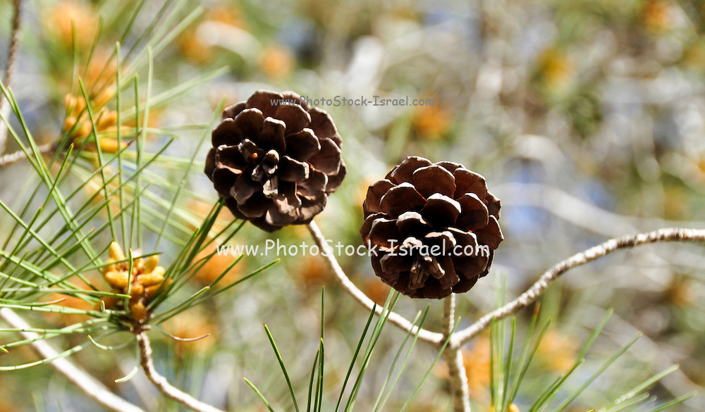 cones and leaves of the Aleppo Pine (Pinus halepensis)