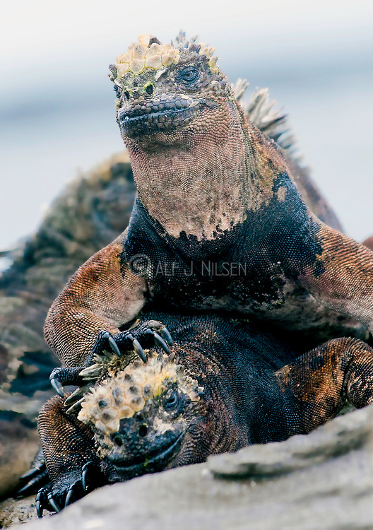 Marine Iguana, Amblyrhynchus cristatus, from Punta Egas, Santiago (James), Galapagos Islands.