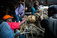 Men in Maua load trucks with bags of peeled Khat for the speedy trip Nairobi for shipping. Because the drug is only potent for 48 hours, every second of the production process is precious and speed is of the essence.   Maua is the Khat production center of Kenya.