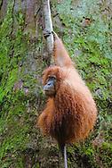 A Sumatran orangutan hangs out against the backdrop of a giant tree trunk, Bukit Lawang, Gungung Leuser National Park.