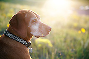 SHOT 8/2/13 7:44:45 PM - Trip to Curt Gowdy State Park near Cheyenne, Wyoming with Margaret Ebeling and Tanner to mountain bike and camp. Tanner, an eight year-old male Vizsla takes in the view from a field as the sun sets one evening. (Photo by Marc Piscotty / © 2013)