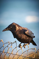 Raven at Piedras Blancas Beach, Central California Coast. Image taken with a Nikon D3x and 70-300 mm VR lens (ISO 400, 300 mm, f/8, 1/160 sec).