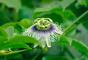Blossom of a Passion Fruit (granadilla or Passiflora edulis)