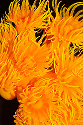 colonial cup coral, Tubastraea coccinea, Family Dendrophylliidae, extending tentacles to feed on plankton, Indo-Pacific Ocean (c)