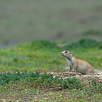 A black-tailed prairie dog (Cynomys ludovicianus) peeks out of its hole on the American Prairie Reserve in Phillips County, Montana.