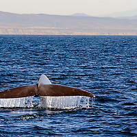 Blue Whale, Balaenoptera musculus, Great Whales, Endangered, Dana Point, California