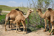 A female Arabian camel (Camelus dromedarius) feeds her new born offspring. Photographed Kidron valley, Judaean desert, West Bank Palestine Israel in March