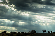 """Cattle crossing the road by a cattle grate in eastern Oregon with a wonderful sky filled with """"God Beams."""""""