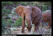 Elephant<br /> Samburu National Reserve, Kenya<br /> September 2012