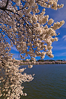 Cherry Blossoms, Cherry Tree Walk, Tidal Basin, Washington D.C., U.S.A.