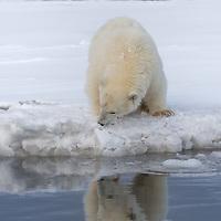 A polar bear cub of the year studies its reflection in the arctic waters.  Kaktovik, arctic Alaska