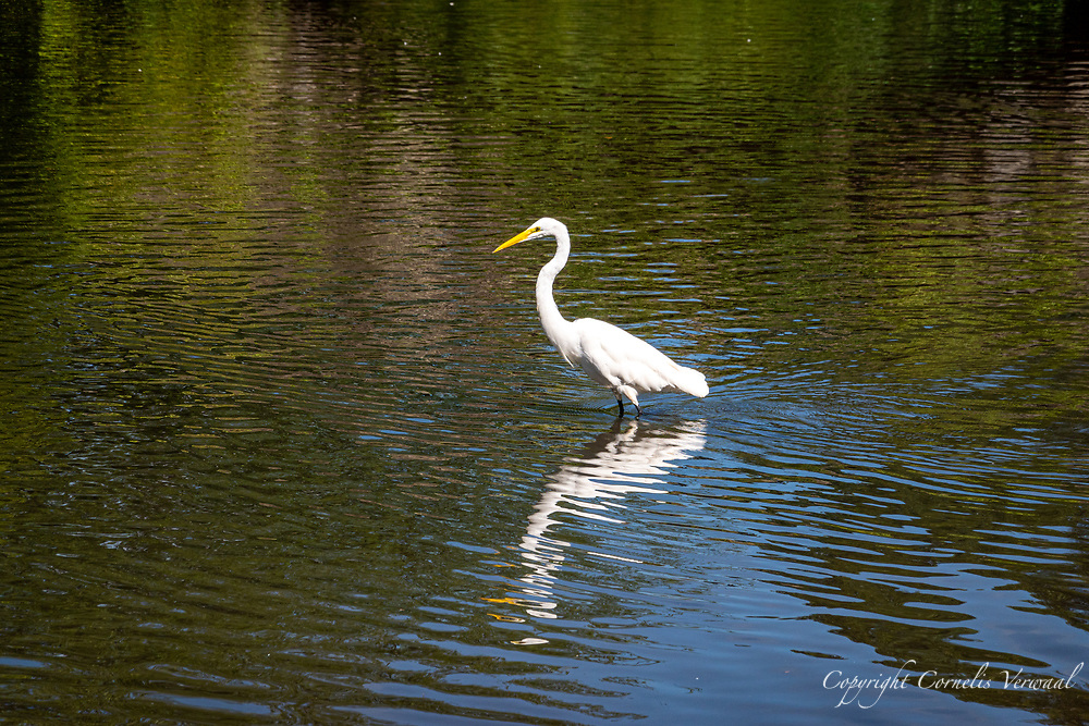 A Great Egret amid shimmering reflections at The Pond in Central Park