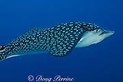 spotted eagle ray, leopard ray, or duckbill ray, Aetobatus narinari, with parasitic copepod attached to snout, Turneffe Atoll, Belize, Central America ( Caribbean Sea )