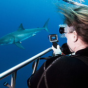 A female scuba diver uses an action camera to film a great white shark (Carcharodon carcharias) as it passes by a submerged shark cage off Guadalupe Island, Mexico.