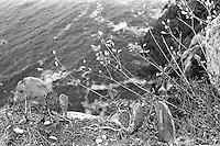 Kroatia 2012-06.<br /> Kaktuser på kanten av en bratt klippe på Lopud i Kroatia.<br /> Foto: Svein Ove Ekornesvåg