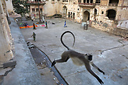 A Langur monkey leaps between buildings at Surya Mandir (known as the Monkey Temple), Jaipur, India