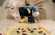 Deu, Deutschland: Chemisch-technischer Assitent Michael Reinsch mit Schutzkleidung und Gasmaske in einem Testraum des nationalen Umweltamtes, Testlabor für wirksame  Schädlingsbekämpfungsmittel. Im Vordergrund eine Glaswanne mit toten Amerikanischen Schaben (Periplaneta americana), Berlin | Deu, Germany: Assistant chemist Michael Reinsch with protection cloth and gas mask in a test room of the National Bureau of Environment, test department for effective substances of pesticide. In the front a glass tub with death American cockroaches (Periplaneta americana), Berlin |