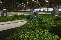 Kenya, Kericho county, Kericho, usine de thé Momul du Kenya Tea Development Agency (KTDA) // Kenya, Kericho county, Kericho, Momul tea factory of Kenya Tea Development Agency (KTDA)