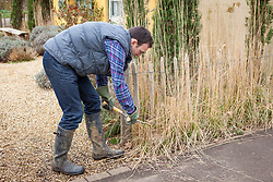 Cutting back ornamental grasses (Calamagrostis) with shears