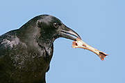 Stock image of American Crow captured in Colorado.  These birds can count and can work out simple solutions.  They are also fascinated with and collect shiny objects.