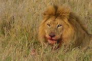 Male lion feeding on small zebra