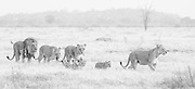 A pride of lions including a mating male and female with  lionesses and their cubs (Panthera Leo) walk together through the grass in black and white, Savuti, Botswana