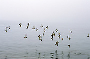 flock of birds flying low over water