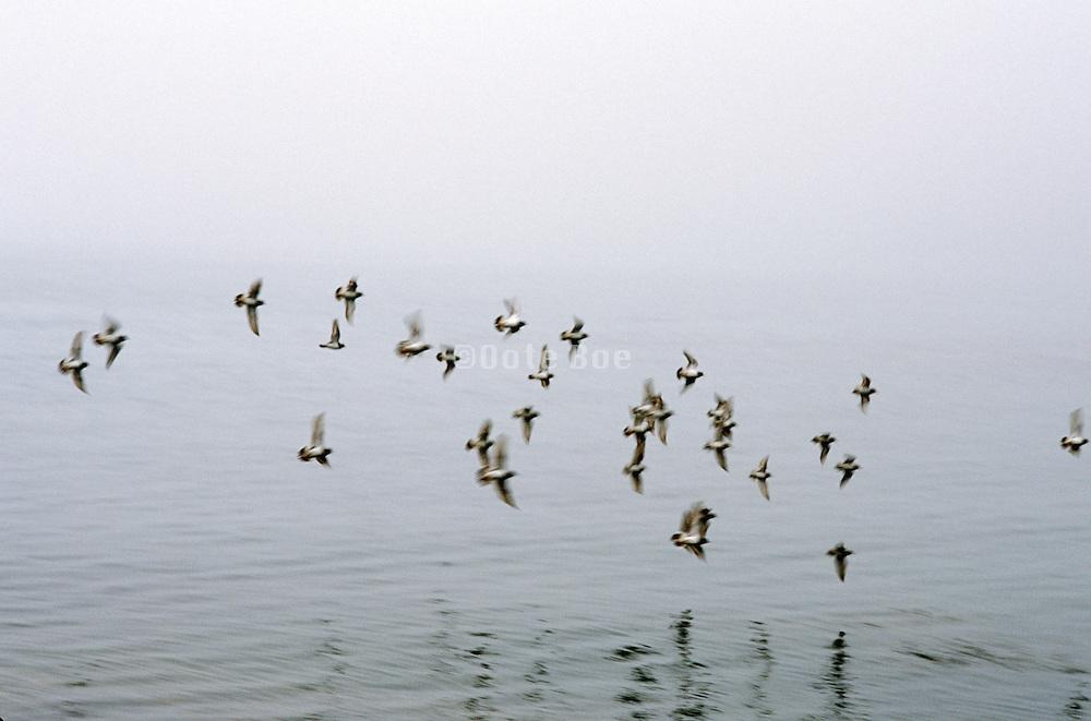 flock of birds flying low over water