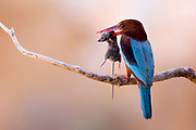 White-throated Kingfisher (Halcyon smyrnensis) with a rodent in its beak, Negev, Israel
