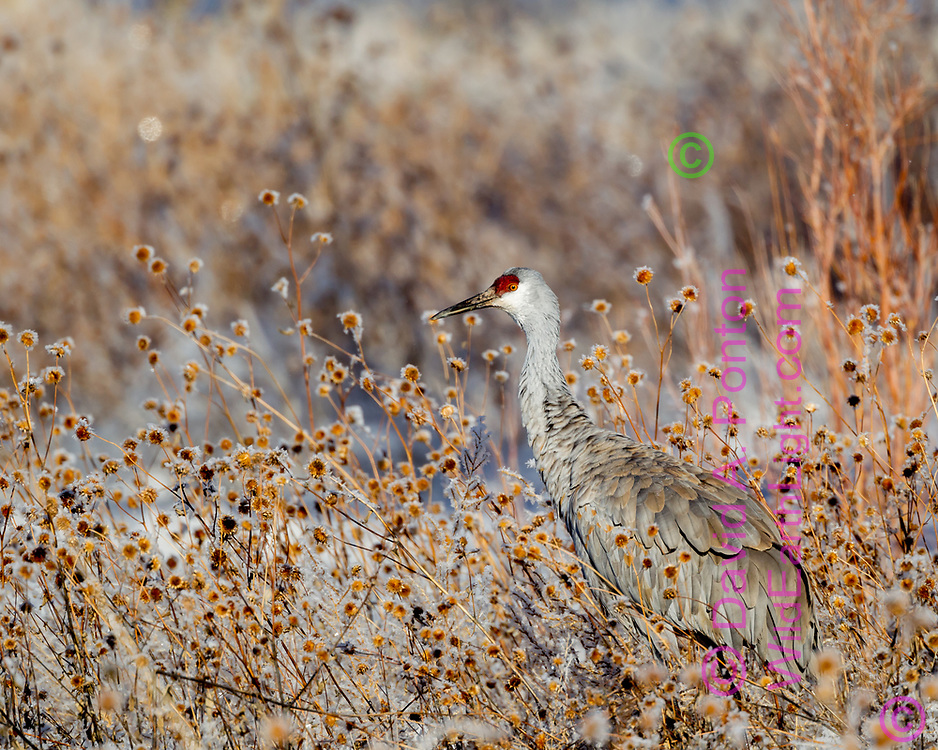Sandhill crane with frosted sunflower seed pods, New Mexico, © David A. Ponton
