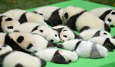 China - 23 Giant Panda Cubs Make Debut In Chengdu - 29 Sep 2016