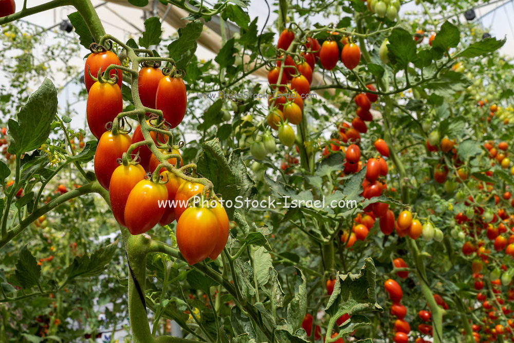 Tomaccio tomatoes resulted from a 12-year breeding program using a wild Peruvian tomato species. The program was developed by Hishtil in Israel. Tomaccio is a vigorous, high yielding, early fruiting cherry tomato bred primarily for the sun-dried tomato market. Tomaccio tomatoes have an intense, sugary flavor when picked fresh or dried at home. Tomaccio plants can reach heights of nine feet and yield 13-18 pounds of fruit per season. Photographed in Israel