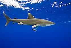 Oceanic Whitetip Shark, Carcharhinus longimanus, trailing a fishing line from its mouth, accompanied by Pilotfish, Naucrates ductor, Remoras, Remora sp., and juvenile Amberjacks, Seriola dumerili, off Kona, Big Island, Hawaii, Pacific Ocean.