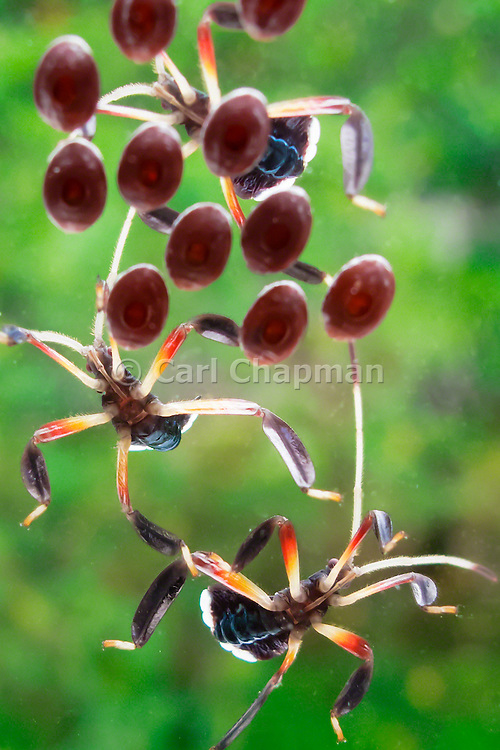 Assassin Bugs tending to eggs <br /> <br /> Editions:- Open Edition Print / Stock Image