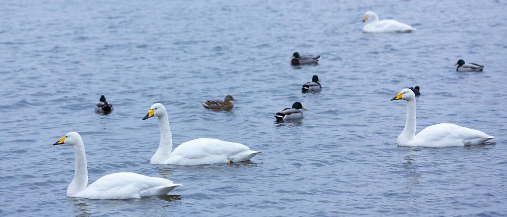Group of Whooper Swan, Cygnus cygnus, with ducks in peaceful lake scene at Welney Wetland Centre, Norfolk, UK