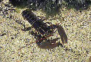 Common Lobster - Homarus vulgaris