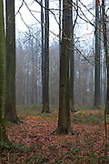 """The Sonian Forest, Foret de Soignes, or Zoniënwoud, an 11,000 hectare woodland to the southeast of Brussels, providing a """"green lung"""" for the polluted, traffic choked city. The forest is currently in three jurisdictions, Brussels, Flanders and Wallonia, but EU involvement in 2013 will see development of plans to re-unify the forest, for the benefit of humans and wildlife."""