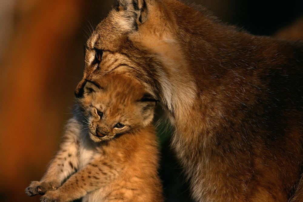 Eurasian Lynx, Lynx lynx, mother carrying baby kitten in her mouth, captive, Langedrag, Norway