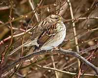 White-throated Sparrow. Image taken with a Nikon D2xs camera and 80-400 mm VR lens (ISO 400, 400 mm, f/9.5, 1/500 sec).