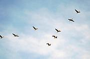Nederland, Ubbergen, 24-2-2019 Wilde ganzen vliegen boven de Ooijpolder. Elk jaar overwinteren tienduizenden ganzen in de Gelderse Poort en de uiterwaarden langs de rivier de Waal. Zij voeden zich met gras, vaak tot ergernis van boeren, veehouders die hun vee in de lente en zomer buiten willen laten grazen. Ook zijn de vogels verspreiders van het vogelgriepvirus. Foto: Flip Franssen