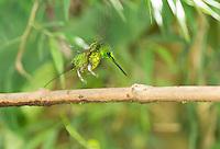 Male empress brilliant hummingbird, Heliodoxa imperatrix, landing on a branch at Refugio Paz de las Aves, Ecuador
