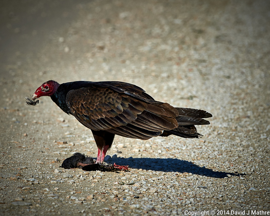 Turkey Vulture Having Brunch. Biolab Road, Merritt Island National Wildlife Refuge. Image taken with a Nikon D4 camera and 500 mm f/4 VR lens (ISO 640, 500 mm, f/9, 1/4000 sec).