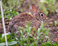 Rabbit in my wildflower garden. Backyard spring nature in New Jersey. Image taken with a Nikon D4 camera and 600 mm f/4 VR lens (ISO 3200, 600 mm, f/4, 1/800 sec).