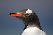 Der Eselspinguin (Pygoscelis papua) ist an dem dreieckigen weißen Fleck über den Augen leicht zu erkennen. | The Gentoo Penguin (Pygoscelis papua) can easily be recognised by the white patch above the eye.