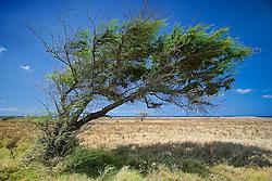 Wind-blown tree, South Point, Big Island, Hawaii