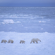 Polar Bear mother with a trio of cubs wandering and waiting for the ice to freeze on Hudson Bay. Cape Churchill, Canada