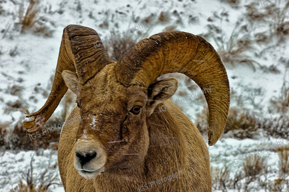 Battle scarred Rocky mountain bighorn sheep in the snow at National Elk Refuge, Grand Teton National Park