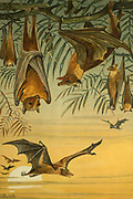 Fruit Bats in flight and hanging upside-down from a branch From the book ' Royal Natural History ' Volume 1 Edited by  Richard Lydekker, Published in London by Frederick Warne & Co in 1893-1894