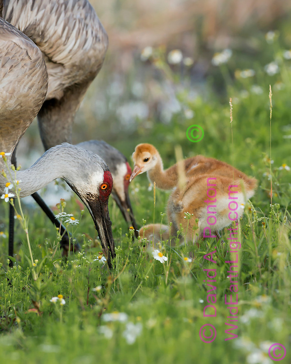 Sandhill crane colts wait near adult that is foraging in a lush green meadow in a wetland, © David A. Ponton
